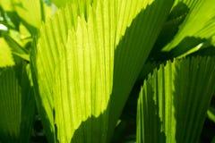 Couleur verte en feuille de palmier et grande taille photographie stock libre de droits