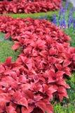 Couleur vibrante de coleus magnifique dans le jardin Photo libre de droits