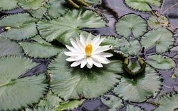 Couleurs beautful blanches de Flor de loto de loto de fleur de lis images libres de droits