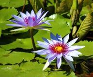 Couleurs beautful pourpres de Flor de loto de loto de fleur de lis image stock