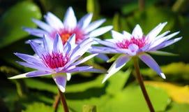 Couleurs beautful pourpres de Flor de loto de loto de fleur de lis photographie stock