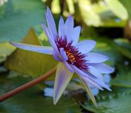 Couleurs beautful pourpres de Flor de loto de loto de fleur de lis photos stock