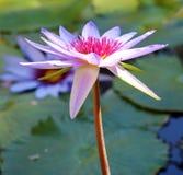 Couleurs beautful pourpres de Flor de loto de loto de fleur de lis images stock