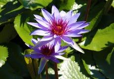 Couleurs beautful pourpres de Flor de loto de loto de fleur de lis Photos libres de droits