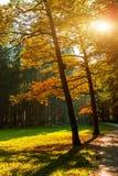 Couleurs d'or étonnantes d'automne dans la voie de chemin forestier Ramassage d'automne Image stock