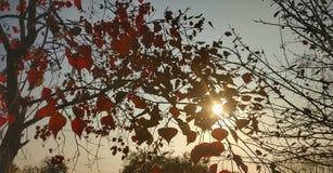 Couleurs d'arbre de peuplier d'hiver de chute dans Himachal Inde image libre de droits