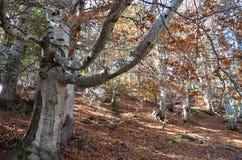 Couleurs d'automne dans les forêts mélangées de parc naturel de Posets-Maladeta, Espagnol Pyrénées Images libres de droits