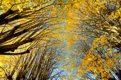 Couleurs d'automne de limettier Photos libres de droits