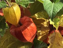 Couleurs d'automne des lanternes chinoises, s'élevant dans le jardin photos stock