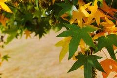 Couleurs d'automne - l'arbre d'érable japonais jaune pousse des feuilles (palmatum d'Acer Photographie stock libre de droits