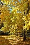 Couleurs d'or d'automne Image libre de droits