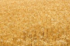 Couleurs d'or de champ de blé mûr Photos libres de droits