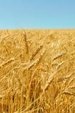 Couleurs d'or de champ de blé mûr Photographie stock