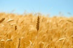 Couleurs d'or de champ de blé mûr Photos stock