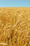Couleurs d'or de champ de blé mûr Image libre de droits
