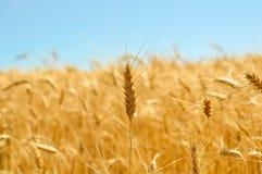 Couleurs d'or de champ de blé mûr Photo stock