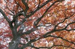 Couleurs de chute dans des chênes de géant de Canada d'Ontario photo libre de droits