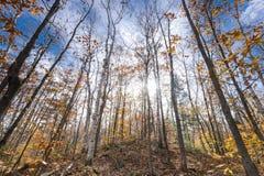 Couleurs de chute dans des chênes de géant de Canada d'Ontario image stock