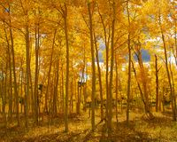 Couleurs de chute dans le Colorado, forêt image libre de droits