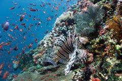 Couleurs de Lionfish Image libre de droits