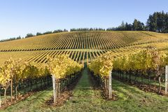 Couleurs de matin de chute des vignobles dans la mi vallée de Willamette, Marion County, Orégon occidental photo libre de droits