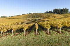 Couleurs de matin de chute des vignobles dans la mi vallée de Willamette, Marion County, Orégon occidental images libres de droits