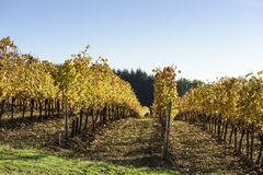 Couleurs de matin de chute des vignobles dans la mi vallée de Willamette, Marion County, Orégon occidental photographie stock libre de droits
