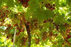 Couleurs de raisins Photographie stock libre de droits