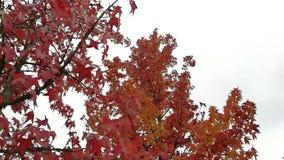 Couleurs de rouge et d'automne en nature clips vidéos