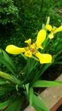 Couleurs fraîches des fleurs jaunes de la Martinique dans le jardin 01 images stock
