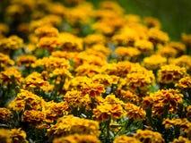 Couleurs jaune-orange Tagetes de parterre ou soucis photo libre de droits