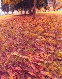 Couleurs jaunes et colorées d'automne de feuilles en parc extérieur avec l'arbre et le soleil Photos stock