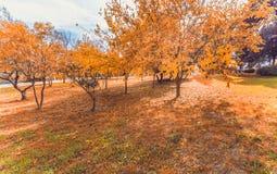 Couleurs jaunes et colorées d'automne de feuilles en parc extérieur avec une route et un soleil Images libres de droits