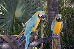 Couleurs mexicaines. Two blue and yellow mexican parrots Royalty Free Stock Photography