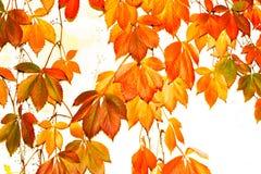 Couleurs principales élevées d'automne dans Napa, la Californie image stock