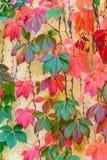 Couleurs renversantes d'automne sur un mur dans Napa Valley illustration libre de droits