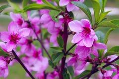 Couleurs roses brouill?es de nature Petites fleurs de floraison roses image libre de droits