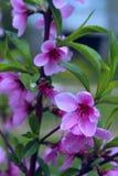Couleurs roses brouill?es de nature Petites fleurs de floraison roses photo stock