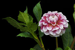 Couleurs roses et blanches de dahlia ; fleurs sur le fond noir 01 Image libre de droits