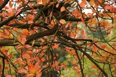 Couleurs rouges d'automne Images libres de droits