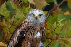 Couleurs rouges d'automne de cerf-volant (milvus de Milvus) Photographie stock libre de droits