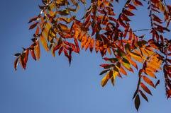 Couleurs rouges d'automne du sumac de Staghorn de typhina de Rhus, feuilles d'Anacardiaceae de sumac sur le ciel bleu photos libres de droits