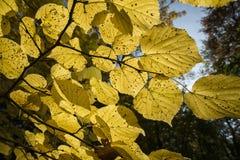 Couleurs unies d'automne dans un forrest Images stock