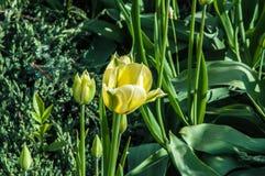 Couleurs vert blanc de tulipe Images stock