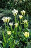Couleurs vert blanc de tulipe Photographie stock libre de droits