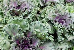 Couleurs vertes et pourpres fraîches de légume dans le jardin Images libres de droits