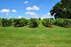 Couleurs vertes vibrantes d'un vienyard d'établissement vinicole Images stock