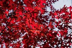 Couleurs vraies de novembre - l'érable rouge part contre le ciel bleu Photos stock