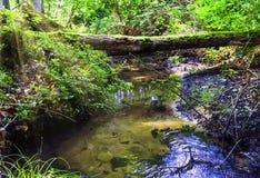 Coulez dans la forêt sauvage - parc national de Slowinski, Kaszuby, Pomorskie, Pologne Photos libres de droits