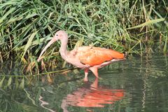 Scarlet ibis in the sun Stock Image
